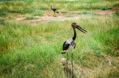 Saddle- billed Stork bird in Kenya, Africa. Saddle- billed Stork bird in Masai Mara Game resort,  Kenya, Africa Stock Photography