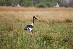 Saddle-billed Stork in Botswana, South Africa Stock Photo