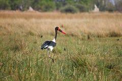 Saddle-billed Stork in Botswana, South Africa Stock Photo