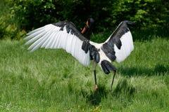 Saddle-billed stork. A saddle-billed stork deploying its wings royalty free stock photo