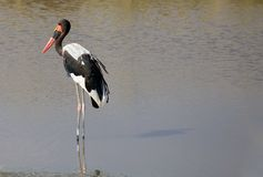 Saddle billed stork (Ephippiorbynchus senegalensis) Stock Photography