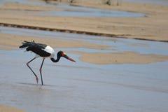 Saddle-billed Stork Stock Image
