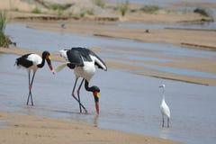 Saddle-billed Stork Stock Photo
