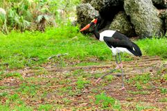 Saddle-billed stork, Ephippiorhynchus senegalensis Stock Image
