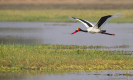 Saddle-billed Stork (Ephippiorhynchus senegalensis. ) in fllight over water pan Royalty Free Stock Photos