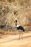 Saddle-billed stork Stock Photos