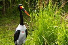 Saddle-billed Stork Stock Photography