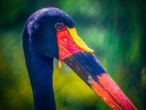 The saddle-billed stork stock photo