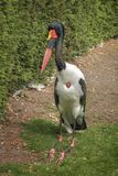 Saddle-billed stork, Ephippiorhynchus senegalensis, a large wading bird in the stork family, Ciconiidae with large red and yellow. Beak. Outdoor, in park royalty free stock photos