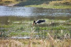 Saddle-billed Stork,Ephippiorhynchus  senegalensis,national park Moremi, Botswana Stock Photography