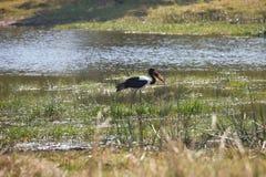 Saddle-billed Stork,Ephippiorhynchus  senegalensis,national park Moremi, Botswana Royalty Free Stock Photo