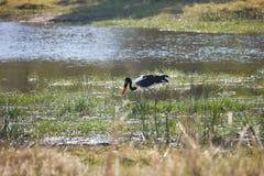 Saddle-billed Stork,Ephippiorhynchus  senegalensis,national park Moremi, Botswana Stock Image