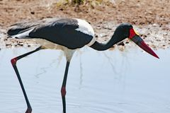 Saddle-billed Stork, closeup in Africa Stock Photography