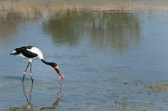 Saddle-billed stork feeding on a snake. A beautiful saddle-billed stork feeding on a snake in the water in the Kruger National Park, South Africa Royalty Free Stock Photo