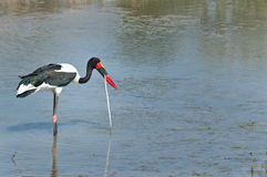 Saddle-billed stork feeding on a snake. A beautiful saddle-billed stork feeding on a snake in the water in the Kruger National Park, South Africa Stock Photo