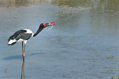 Saddle-billed stork feeding on a snake Stock Photo