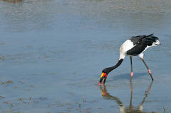 Saddle-billed stork feeding at waterhole. A beautiful saddle-billed feeding and looking for potential prey with reflection in the water in the Kruger National Stock Photo