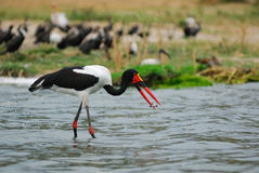 Saddle-billed stork with fish Royalty Free Stock Images