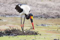 Saddle billed stork hunting for frogs in pond Stock Images