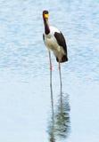 Saddle-billed stork, Kenya stock photography