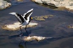 Saddle-billed stork in Kruger National park Royalty Free Stock Images