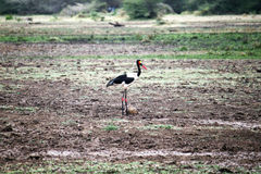 Saddle billed stork Stock Images