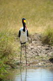 Saddle-billed Stork. One of the most beautiful storks in the world, the Saddle-billed stork is found in Africa Royalty Free Stock Photos