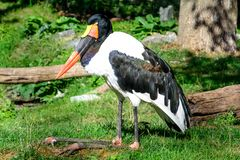 Saddle-billed stork resting on grass royalty free stock photos