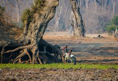 Saddle-billed stork in the savanna of in Zimbabwe, South Africa royalty free stock photos