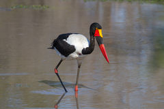 Saddle-billed Stork Searching for Food Royalty Free Stock Photography