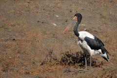 Saddle-billed Stork sitting. Royalty Free Stock Photo