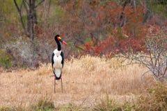 Saddle billed stork Stock Photo