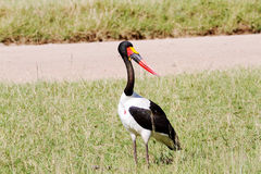 Saddle billed stork. Standing on grassy field Royalty Free Stock Image