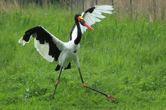 Saddle-billed stork Royalty Free Stock Photography