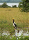 Saddle Billed Stork in Ugandan Marsh. A saddle billed stork walks through a marsh in Uganda whiie a duck looks on in the background Royalty Free Stock Photos