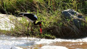 Saddle-billed Stork wading Stock Image