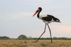 Saddle Billed stork walks through the field stock photo