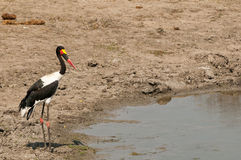 Saddle-billed stork at waterhole. A beautiful saddle-billed stork next to a waterhole looking for potential prey in the water in the Kruger National Park, South Royalty Free Stock Image