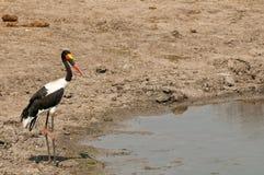 Saddle-billed stork at waterhole Royalty Free Stock Image
