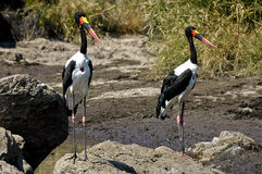 Saddle billed storks. A pair of Saddle billed storks. The Saddle-billed Stork (Ephippiorhynchus senegalensis) is a large wading bird in the stork family Royalty Free Stock Photography