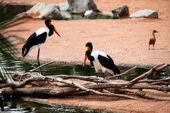 Saddle billed storks birds stock photography