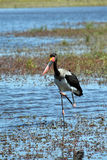 Saddle-billed Storks Royalty Free Stock Image