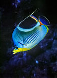 Saddle Butterflyfish Stock Image