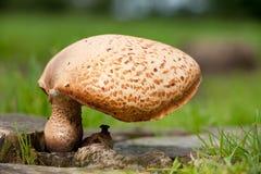 Saddle fungi Royalty Free Stock Photo