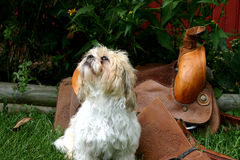 Saddle guardian. Shih tzu dog distracted while supposedly guarding the saddle royalty free stock photo