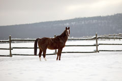 Saddle horse looking over corral fence winter rural scene Stock Images