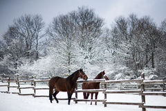 Saddle horses looking over corral fence winter rural scene Royalty Free Stock Photo
