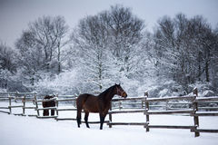 Saddle horses looking over corral fence winter rural scene Royalty Free Stock Photography