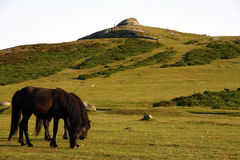 Saddle Tor Ponies. Hardy Dartmoor ponies grazing the heath land of Dartmoor, they help create a rich patchwork of habitat & wildlife Royalty Free Stock Image