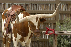 Saddle Up. Texas longhorn saddle up for travel Stock Image